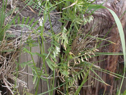 Vicia hirsuta - Ringelwikke