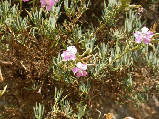 Dianthus gratianopolitanus - Rotsanjer