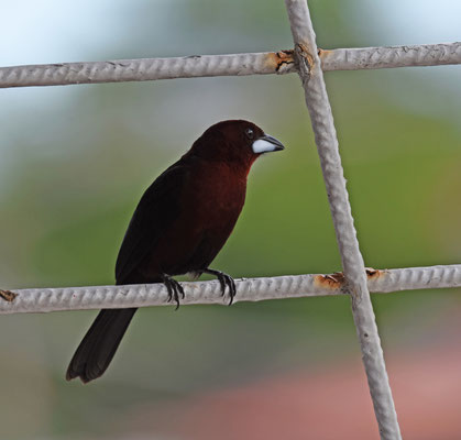 Silver-beaked Tanager, male