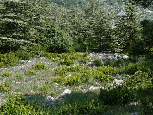 locatie met Iris aphylla