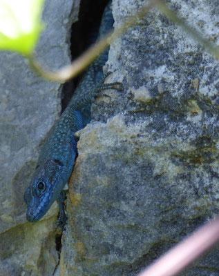 Spitssnuithagedis (Dalmatolacerta oxycephala)