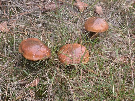 Suillus luteus - Bruine ringboleet