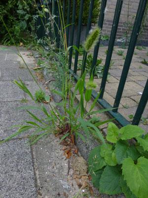 Setaria viridis - Groene naaldaar
