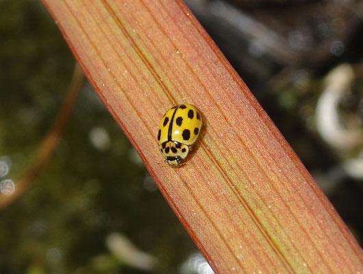Propylea quatuordecimpunctata - Schaakbordlieveheersbeestje