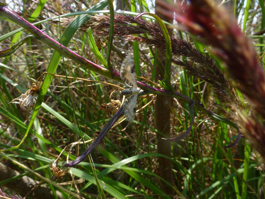 Eupithecia centaureata - Zwartvlekdwergspanner