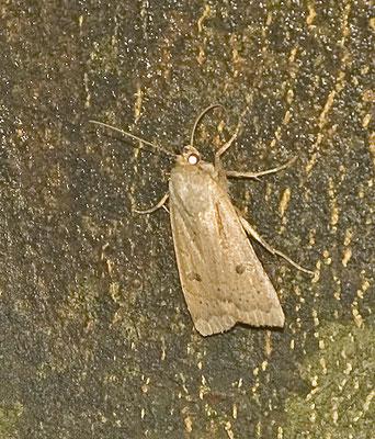 Agrochola macilenta - Geelbruine herfstuil