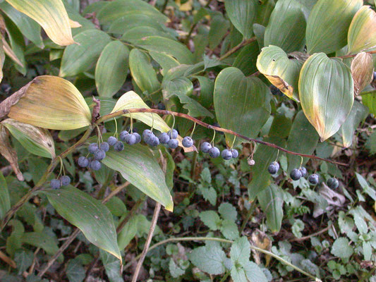 Polygonatum odoratum - Duinsalomonszegel