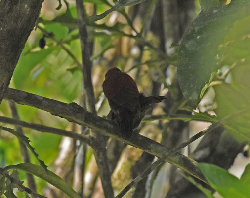 Blood-colored Woodpecker, parend