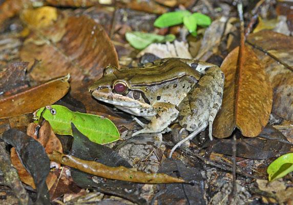 Lepotodactylus pentadactylus