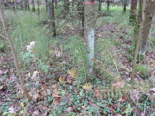 Equisetum sylvaticum - Bospaardenstaart