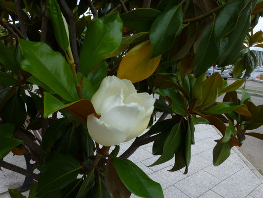 Magnolia grandifolia - Grootbloemige magnolia