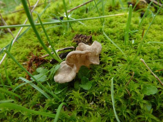 Arrhenia spathulata - Gesteeld mosoortje