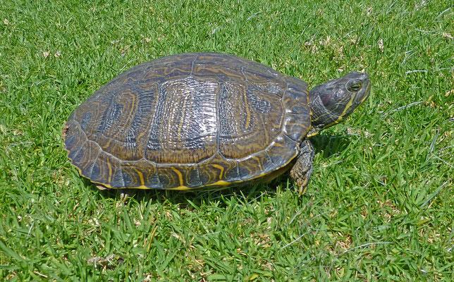 Trachemys scripta elegans - Roodwangschildpad