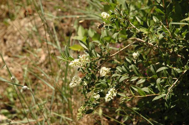 Ligustrum vulgare - Wilde liguster