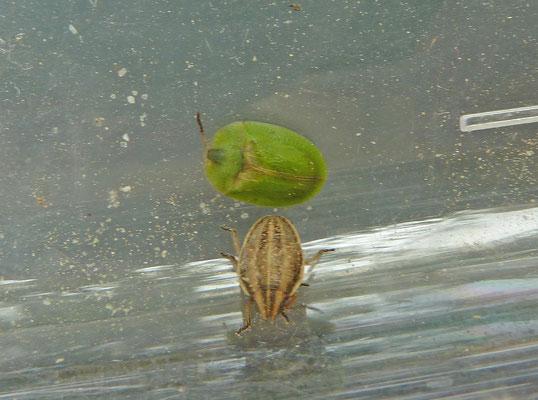 Aelia acuminata - Mijterschildwants (en schildpadtor)