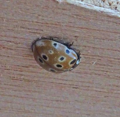 Anatis ocellata - Oogvleklieveheersbeestje