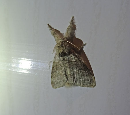 Plakker (Lymantria dispar)