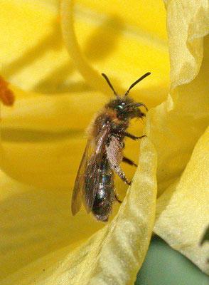 Andrena bicolor - Tweekleurige zandbij