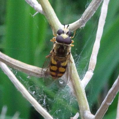 Eupeodes corollae - Terrasjeskommazweefvlieg