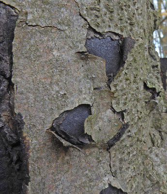 Eutypa spinosa - Stekelige korstkogelzwam