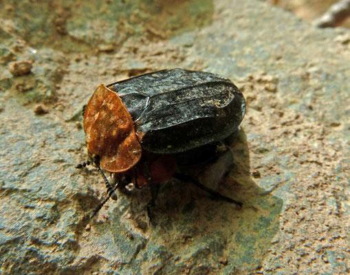 Oiceoptoma thoracicum (Oranje aaskever)