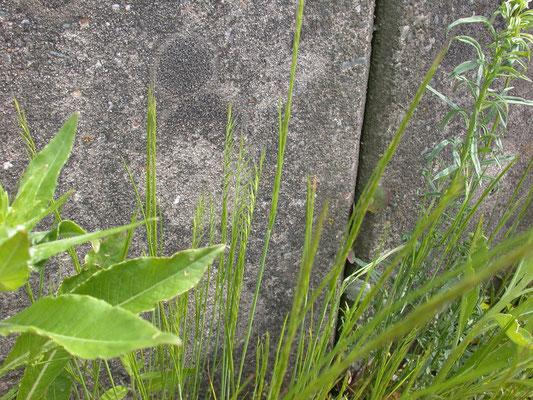 Vulpia myuros - Gewoon langbaardgras