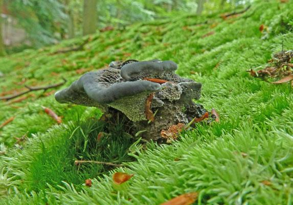 Phellodon niger - Blauwzwarte stekelzwam