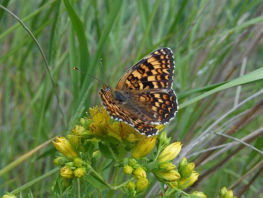 Melitaea phoebe - Knoopkruidparelmoervlinder