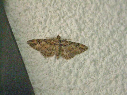 Gymnoscelis rufifasciata - Zwartkamdwergspanner
