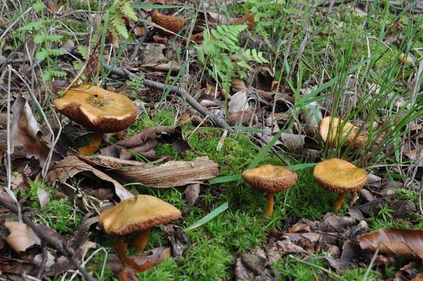 Chalciporus piperatus - Peperboleet