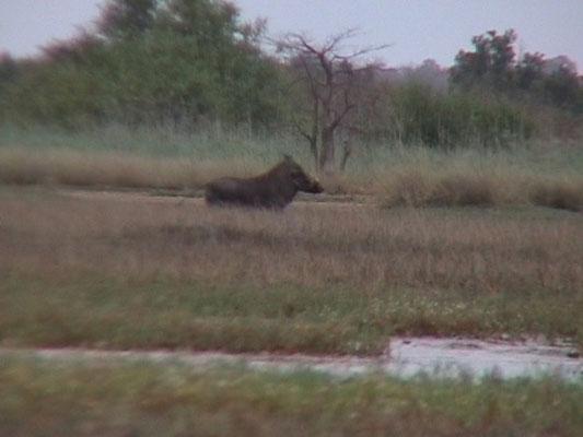 Warthog (Wrattenzwijn)