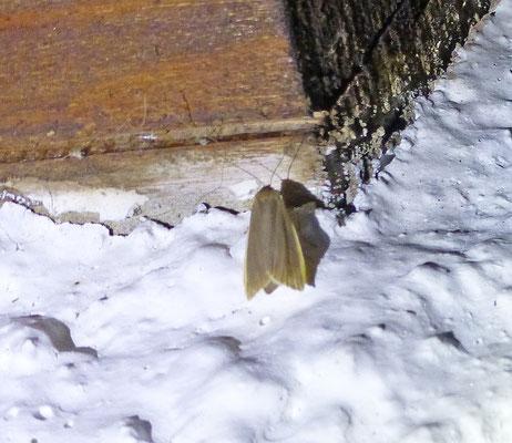 Eilema caniola - Vaal kokerbeertje