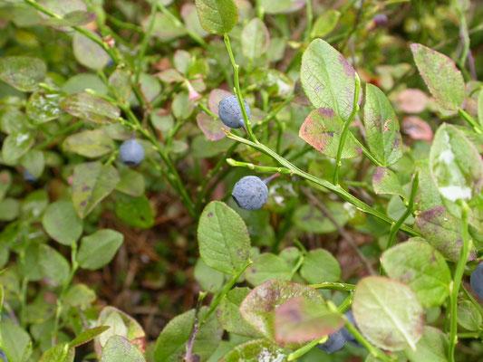 Vaccinium myrtillus - Blauwe bosbes