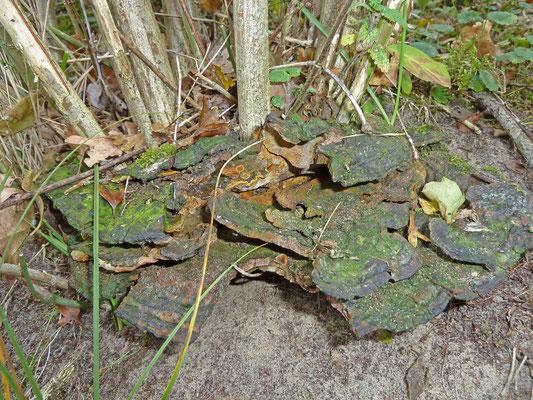 Phylloporia ribis - Kardinaalsmutsvuurzwam