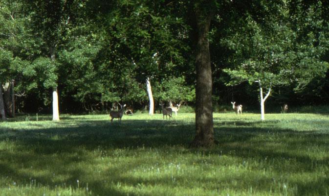 Witstaartherten (White-tailed Deer) bij de ingang van State Park