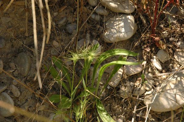 Aegilops geniculata
