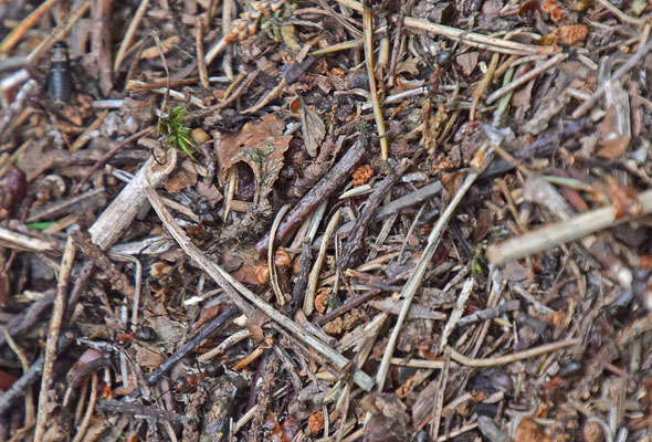 Formica polyctena - Kale rode bosmier