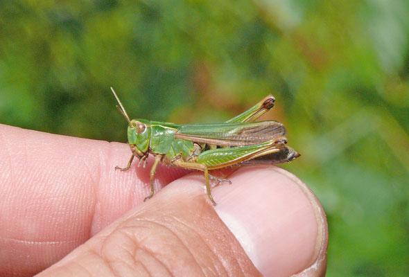 Omocestus viridulus  Wekkertje
