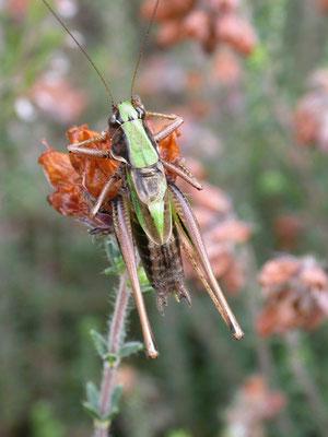 Metrioptera brachyptera - Heidesabelsprinkhaan