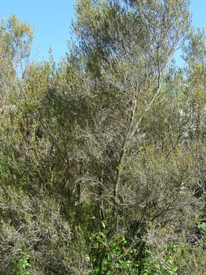 Tamarix gallica - Franse tamarisk