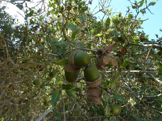 Quercus ilex -Steeneik