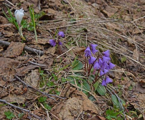 Alpenkwastjesbloem (Soldanella alpina)
