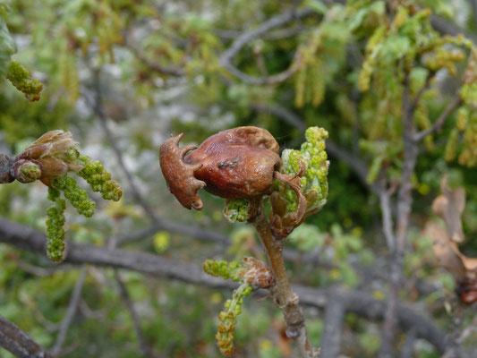 Quercus species