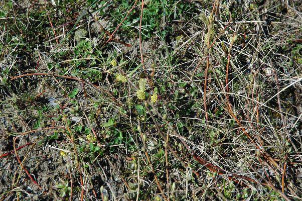 Salix repens - Kruipwilg