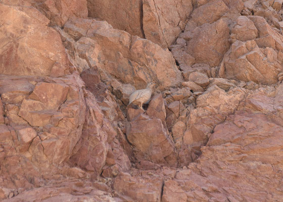 Arabische zandpatrijs - Sand Partridge