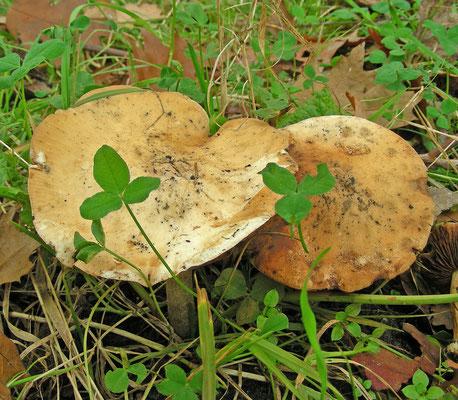 Russula risigallina - Abrikozenrussula