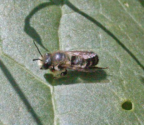 Megachile willughbiella - Grote bladsnijder