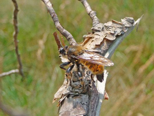 Laphria flava - Gele hommelroofvlieg