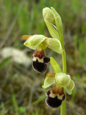 Ophrys fusca - Bruine ophrys