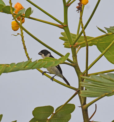 Wing-barred Seedeater, male